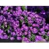 Aster pot de 1.5L violette - la Jardinerie de Pessicart Nice 06100