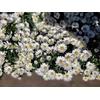 Aster pot de 1.5L blanche - la Jardinerie de Pessicart Nice 06100