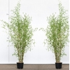 2 bambou-phyllostachys-aurea