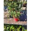 Buddleia ou Arbre aux papillons pot Ø 14 cm Mauve - la jardinerie de Pessicart Nice 06100