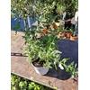 Buddleia ou Arbre aux papillons pot Ø 14 cm Blanc - la jardinerie de Pessicart Nice 06100