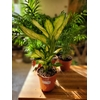 Dieffenbachia ceguine - Pot Ø 17 cm - Hauteur 55 cm - la Jardinerie de Pessicart Nice 06100