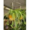 Chlorophytum - Suspension (convertible en pot) Ø 27 cm - la Jardinerie de Pessicart Nice 06100