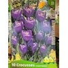 10 Crocus Vernus GRAND MAITRE 8+