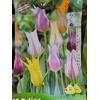 10 Tulipe Fleur de Lys en MELANGE 12+