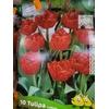 10 Tulipes Double Hâtive CARLTON 11+