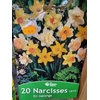 5 Narcisse Trompette en MELANGE Rd II