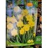 5 Narcisse OBVALLARIS (Jonquille) 12+