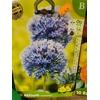 10 Allium CAERULEUM 4+