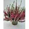 Bruyère pot 1 litre - bicolore - La Jardinerie de Pessicart 06100 Nice