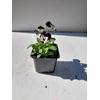 Pensées godets - La Jardinerie de Pessicart Nice 06100