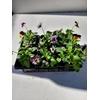 Pensées en lot de 5 godets - La Jardinerie de Pessicart Nice 06100