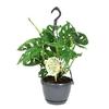 monstera-obliqua-monkey-leaf-3p-h35-suspo15 - La Jardinerie de Pessicart Nice 06100