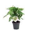 monstera-obliqua-monkey-leaf-2p-h25-p12 - La Jardinerie de Pessicart Nice 06100