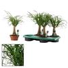 beaucarnea-recurvata-trc-h45-cpeo16 - La Jardinerie de Pessicart Nice 06100