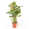 monstera-deliciosa-tut-mouss-la jardinerie de pessicart nice 06100