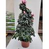 Azalée Pot Ø 19 cm pyramide - Hauteur 60-70 cm - bicolor - la jardinerie de pessicart nice 06100