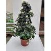 Azalée Pot Ø 19 cm pyramide - Hauteur 60-70 cm - Blanc - la jardinerie de pessicart nice 06100