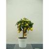 limequat-x-fortunella-ma-tg-70-90-h135-p20 - la jardinerie de pessicart nice 06100