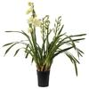 Cymbidium orchidée - La jardinerie de pessicart nice - Livraison a domicile nice 06 plantes vertes terres terreaux jardinage arbres cactus
