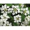 lantana sellowiana blanc