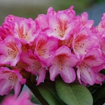 rhododendron4