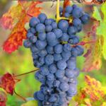 vigne-vinifera-ampelia-aladin