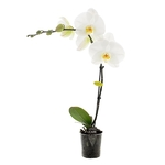 phalaenopsis blanche 2
