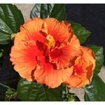 hibiscus rosa sinensis (1)