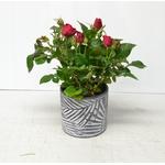 Composition fete des meres 2020 - la jardinerie de pessicart - cache pot areca rosier (4)