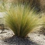 Stipa cheveux ange la jardinerie de pessicart nice livraison gratuite