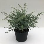 eucalyptus gunnii la jardinerie de pessicart nice livraison gratuite 2