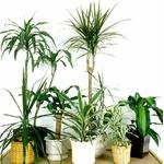 dracaena la jardinerie de pessicart livraison gratuite dracena marginata