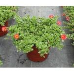 pourpier la jardinerie de pessicart livraison nice fleurs plantes3