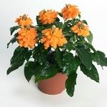 crossandra infundibuliformis la jardinerie de pessicart Nice livraison gratuite