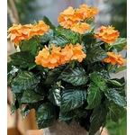 crossandra infundibuliformis la jardinerie de pessicart Nice livraison gratuite 2
