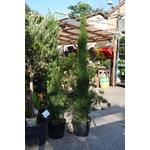 Cypres de florence La jardinerie de pessicart