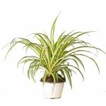 Chlorophytum plante araignee la jardinerie de pessicart3