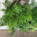 asplenium parvati fougere la jardinerie de pessicart 2