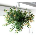 hypocyrta-nematanthus-la jardinerie de pessicart nice