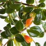 nematanthus la jardinerie de pessicart