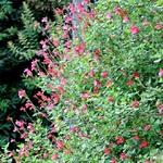 salvia microphylla la jardinerie de pessicart