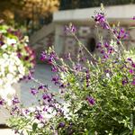 salvia microphylla la jardinerie de pessicart 2