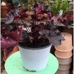heuchere la jardinerie de pessicart JPG (8)