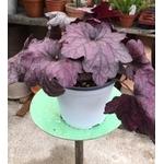 heuchere la jardinerie de pessicart JPG (7)