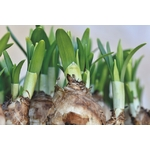 narcisses jonquilles La jardinerie de pessicart