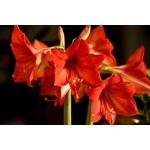 la jardinerie de pessicart amaryllis 2