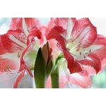 la jardinerie de pessicart amaryllis