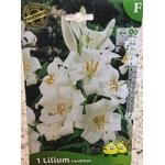 La jardinerie de Pessicart Bulbes les doigts verts Lys candidum 1