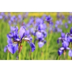la jardinerie de pessicart iris